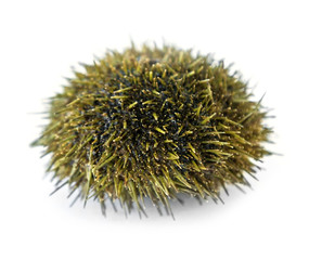 sea urchin from Pacific ocean, isolated on white background