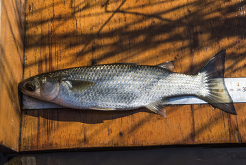 Flat Head Mullet and release for research