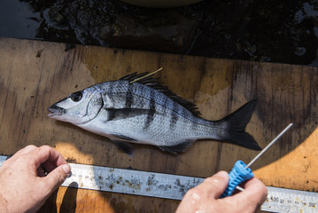 White Steenbras catch and release for research