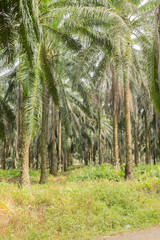 Old oil palm tree. Ready to replanting phase.