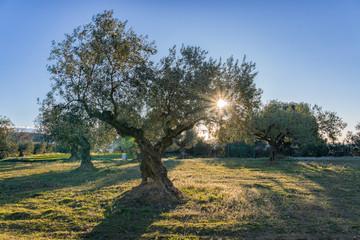 Photo sur Toile Oliviers Amanecer entre los olivos