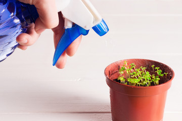 seedlings of forget-me-not flower in a plastic pot with sprayer
