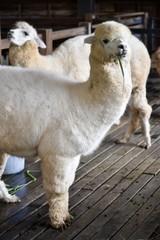 fluffy alpacas in barn