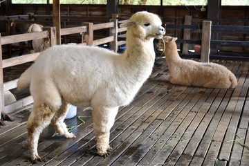 fluffy alpacas in barn