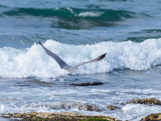 Mediterranean Gull -Larus  michahellis - flying low over the Mediterranean sea and looking for food