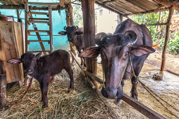 Water Buffalo, Bubalus arnee, Terai, Nepal,