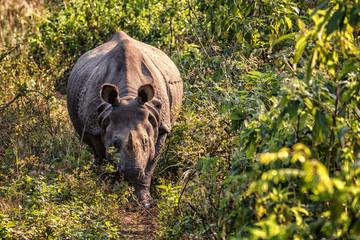 Indian Rhinoceros, Rhinoceros unicornis, Chitwan NP, Nepal