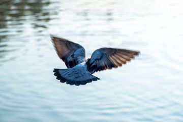 Back one Gray pigeon bird flying over river