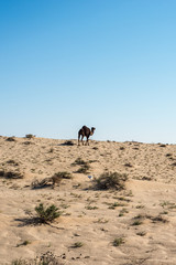 Dromedaries in Tunisia