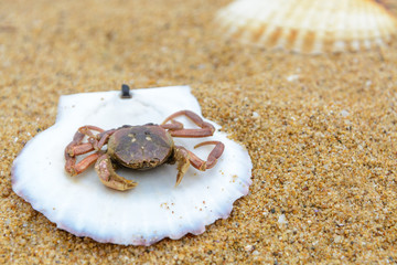 shell and crab on the sand. Background