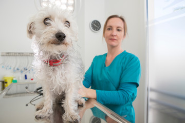 Vet with terrier poodle mixed breed dog on table