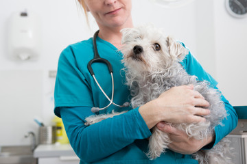 Vet carrying terrier poodle mixed breed dog