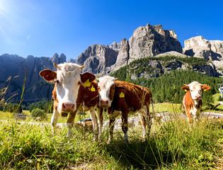 Dolomiten mit Kühen im Vordergrund