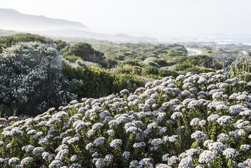 Disparago anomala growing along the Agulhas coastline