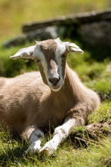 Baby Goat on a Green Grass in Mountain