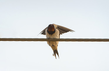 Barn Swallow perching on the line