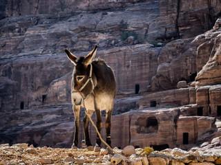 Donkey near the Shrine in Petra