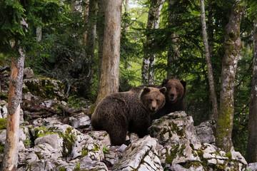 Two European brown bears (Ursus arctos), Markovec, Bohinj Commune, Slovenia, Europe