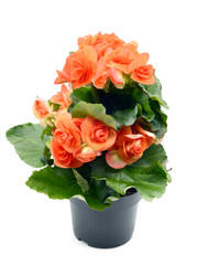 Orange red Begonia Elatior flower in flowerpot on white isolated background