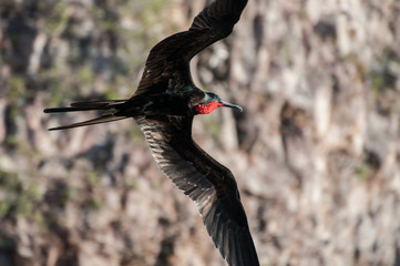Male frigate bird displaying red throat, Seymour, Galapagos, Ecuador, South America