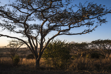 Acacia tree silhouette at sunrise