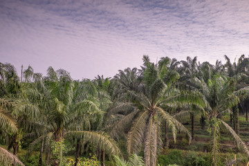 Mature palm oil tree commodity
