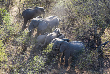 Aerial view of an African Elephant herd