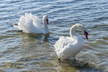 A pair of white swans. White swans swim on the water. Family of white swans.