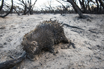 Porcupine killed in runaway fire caused by throwing of a cigarette