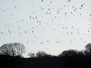 crows flocking over winter forest trees at twilight