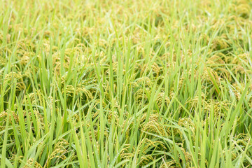 Paddy rice on the field in Taiwan