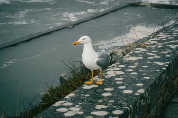 A seagull  in baiona, galicia, spain