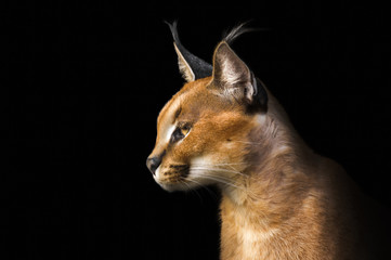 Wall Murals Lynx Beautiful caracal lynx over black background