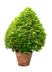 big green plant bush in pot isolated on white. beautiful shape.