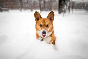A dog playing in the fresh snow