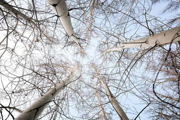 Snowy aspen trees in winter.
