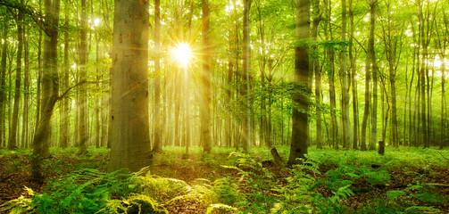 Sonne strahlt durch naturnahen Buchenwald, Farn bedeckt den Waldboden