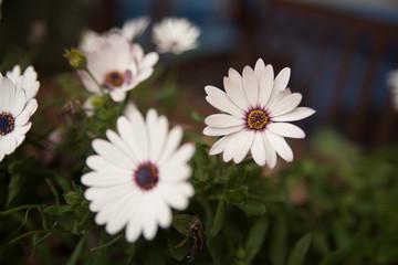 Margarita lila y blanca