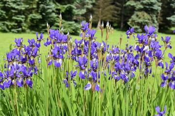 Group of blue Siberian Iris flowering in a garden