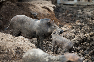 Mom and son black pig in the farm