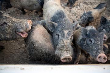 Saddleback pig wait for food