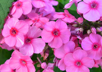 huge flower bed full of purple hydrangea flowers and pink and red