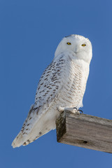 Wall Mural - Snowy Owl Looking at Camera
