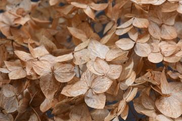 Dried hydrangea flowers close-up