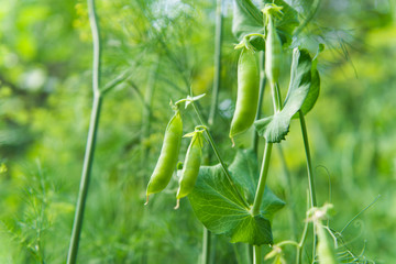 pods green peas growing