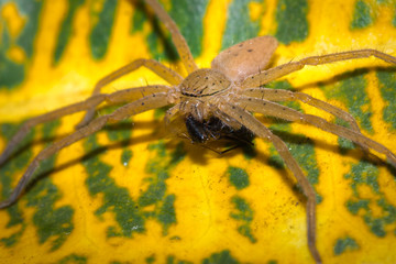 Big Brown spider sitting on a green and yellow leaf, Nosy Komba, Madagascar
