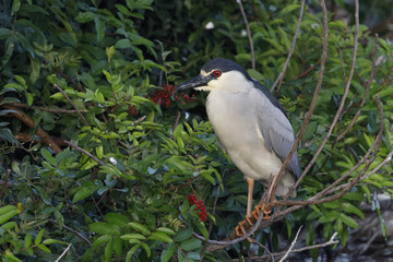 Black-crowned Night Heron perched in Brazilian Pepper - Florida