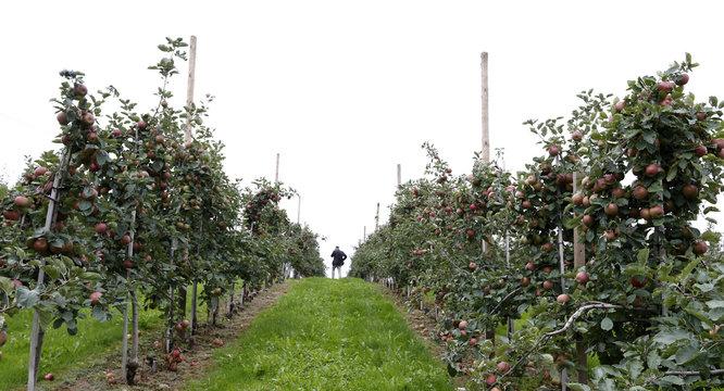 Farmer Hagen inspects Boskop apple trees ahead of harvest in two weeks in Kressbronn near Lindau at lake Bodensee