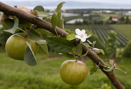 A tree laden with apples stands in an orchard in Kressbronn near Lindau at lake Bodensee