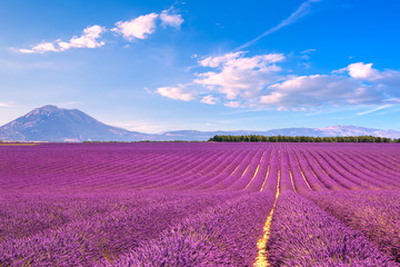 Lavender flowers blooming fields. Valensole Provence, France